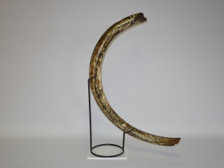A Superb Near-Complete Tusk of a Female Woolly Mammoth