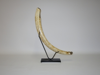 A Superb Half Tusk of a Woolly Mammoth