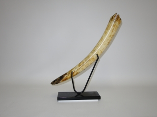 A Gorgeous Half Tusk of a Woolly Mammoth