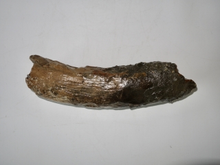 An Interesting Piece of Tusk of a Woolly Mammoth