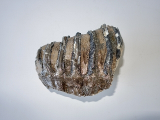 A Good Lower Jaw M2 Molar of a Southern Mammoth