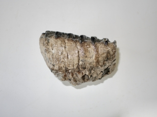 A Half Upper Jaw M2 Molar of a Southern Mammoth