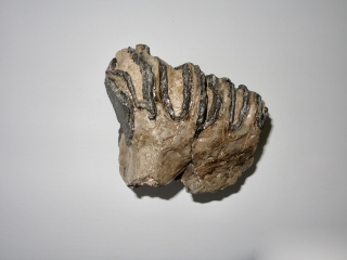 A Good Upper Jaw P4 Molar of a Southern Mammoth