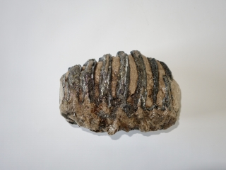 A Partial Upper Jaw M2 Molar of a Southern Mammoth