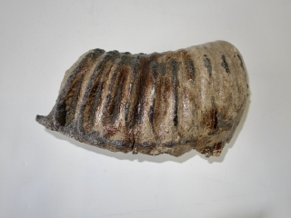 A Partial Lower Jaw M2 Molar of a Southern Mammoth