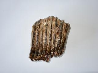 A Partial Molar of a Palaeoloxodon antiquus