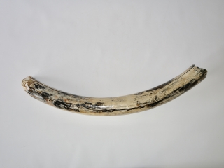 A Fantastic Half Tusk of a Female Woolly Mammoth