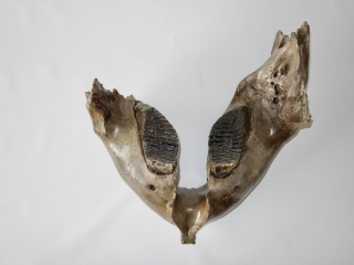A Lower Jaw with M3 Molars of an Alpha Male Woolly Mammoth