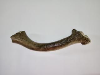 A Partial Antler of a Pleistocene Red Deer