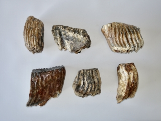 A Bargain Lot of 6 Partial Woolly Mammoth Molars