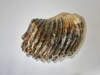 A Partial Lower Jaw M3 Molar of a Woolly Mammoth