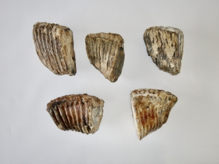 A Bargain Lot of 5 Partial Woolly Mammoth Molars