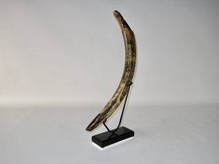 A Gorgeous Half Tusk of a Female Woolly Mammoth