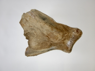 A Good Partial Shoulderblade of a Woolly Mammoth