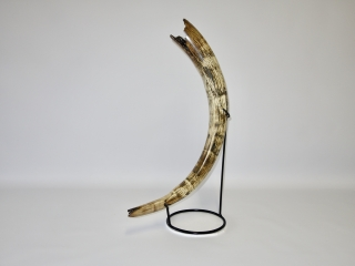 A Superb Nearly Complete Tusk of a Female Woolly Mammoth