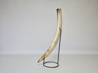 A Superb Half Tusk of a Female Woolly Mammoth