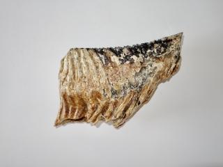 A Wonderful Lower Jaw M3 Molar of a Woolly Mammoth