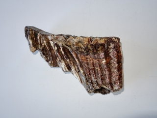 A Lower Jaw M3 Molar of an Old Woolly Mammoth