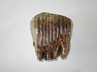 A Partial Upper Jaw M2 Molar of a Woolly Mammoth