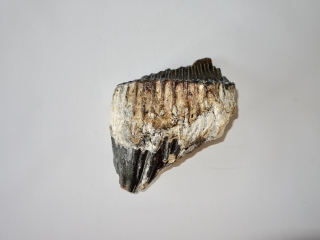 An Upper Jaw M3 Molar of an Old Woolly Mammoth