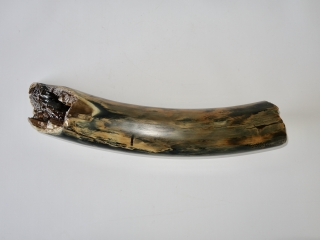 A Gorgeous Piece of Tusk of a Woolly Mammoth