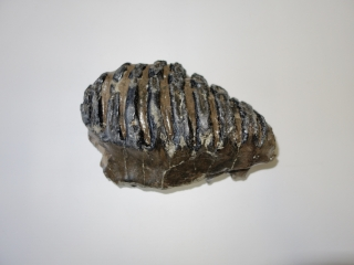 A Wonderful Upper Jaw M2 Molar of a Southern Mammoth