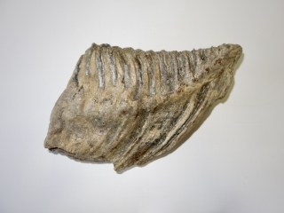 A Good Lower Jaw M3 Molar of a Woolly Mammoth