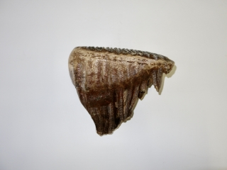 A Superb Upper Jaw M3 Molar of a Woolly Mammoth