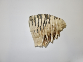 A Gorgeous Upper Jaw M2 Molar of a Woolly Mammoth