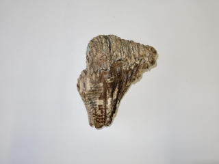 A Good Nearly Complete Upper Jaw M3 Molar of a Woolly Mammoth