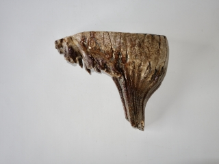 A Beautiful Upper Jaw M3 Molar of a Woolly Mammoth
