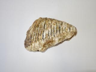 A Fantastic Upper Jaw M3 Molar of a Woolly Mammoth