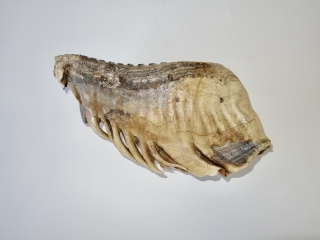 A Superb Lower Jaw M3 Molar of a Woolly Mammoth