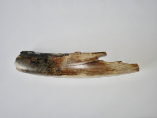 A Wonderful Piece of Tusk of a Woolly Mammoth