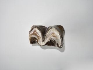 A Fantastic and Rare Molar of a Brontotherium