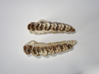 A Fantastic Upper Jaw of a Hyracodon Nebrascensis