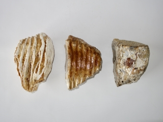 A Group of Three Partial Molars Possibly Columbi Mammoth
