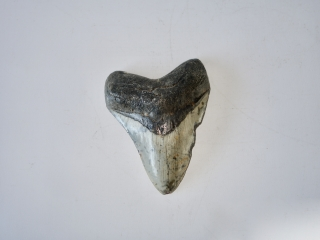 A Beautiful Carcharocles Megalodon Shark Tooth