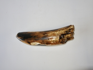 A Good Tip of a Tusk of a Woolly Mammoth