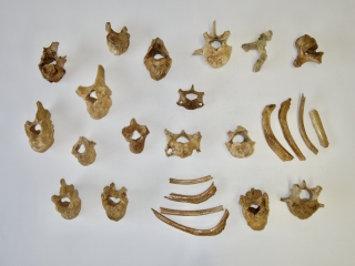 A Bargain Group of 24 Fossils of Pleistocene Cave Bear