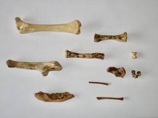 A Bargain Group of 10 Fossils of Pleistocene Cave Bear