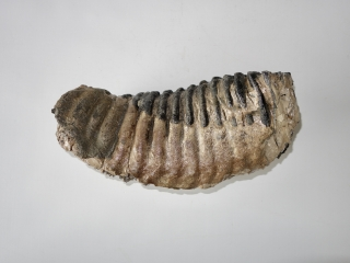 A Fantastic Lower Jaw M3 Molar of a Southern Mammoth