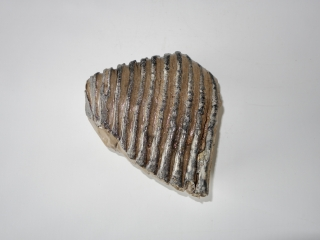 A Nice Upper Jaw M3 Molar of a Woolly Mammoth