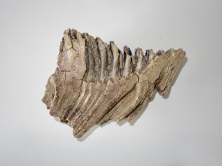 A Nice Lower Jaw M3 Molar of a Woolly Mammoth