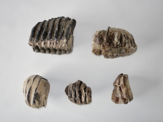 A Bargain Lot of 5 Partial Southern Mammoth Molars