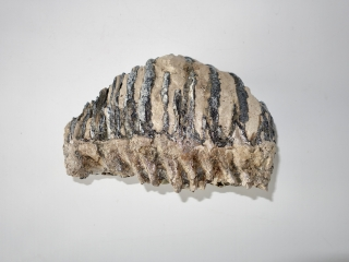A Beautiful Upper Jaw M3 Molar of a Southern Mammoth