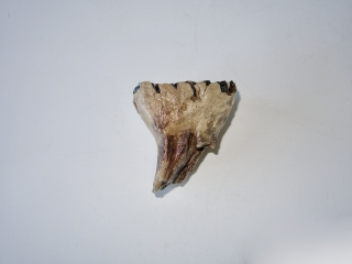 A Beautiful Lower Jaw P4 Molar of a Woolly Mammoth