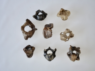 A Bargain Lot of 8 Partial Woolly Rhinoceros Fossils