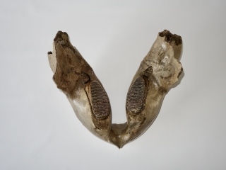 A Lower Jaw with M2 Molars of a Woolly Mammoth
