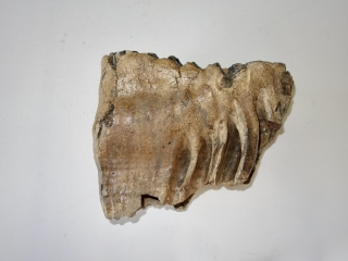 A Fantastic Lower Jaw M3 Molar of a Woolly Mammoth